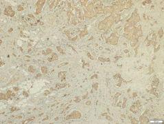 FSTL1 Antibody (PA5-31113)