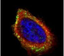 PCYOX1 Antibody (PA5-31528)