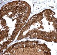 PGLS Antibody (PA5-31678)