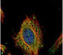 FEM1C Antibody (PA5-31869)