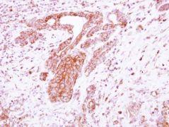 LRRC4C Antibody (PA5-31873)