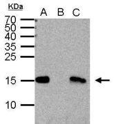 Di-Methyl-Histone H3 (Lys4) Antibody (PA5-31912)