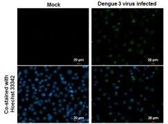 Dengue Virus Type 2 NS5 Antibody (PA5-32200)