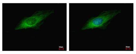 GEF-H1 Antibody (PA5-32213)