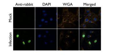 Influenza A NP Antibody (PA5-32242)
