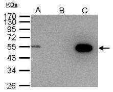 Cyclin A2 Antibody (PA5-34682)