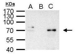 NFkB p65 Antibody (PA5-34737)