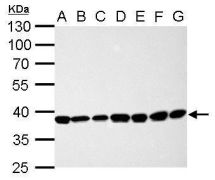 CDK7 Antibody (PA5-34791)
