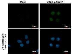 p21 Antibody (PA5-34805)