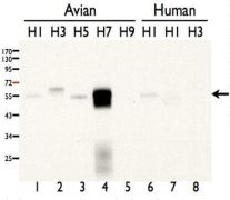 Influenza A H7N7 HA Antibody (PA5-34922)
