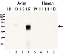 Influenza A H7N7 HA Antibody (PA5-34923)