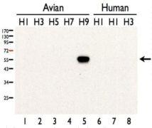Influenza A H9N2 HA Antibody (PA5-34925)