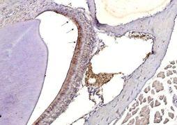 Influenza A H3N2 HA Antibody (PA5-34930)