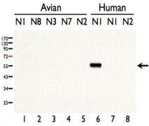 Avian Influenza H5N1 Neuraminidase Antibody (PA5-34949)