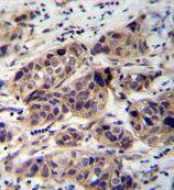 WDR42C Antibody (PA5-35082)