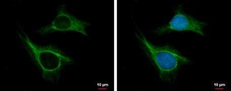 CKAP2 Antibody (PA5-35867)