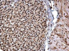 hnRNP DL Antibody (PA5-35896)