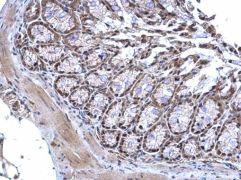 MTF2 Antibody (PA5-35931)