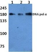 POLA1 Antibody (PA5-36147)