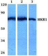 HKR1 Antibody (PA5-36148)