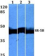 HTR5B Antibody (PA5-36371)
