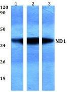 MT-ND1 Antibody (PA5-36493)