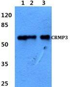 CRMP3 Antibody (PA5-36585)