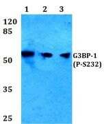 Phospho-G3BP1 (Ser232) Antibody (PA5-36645)