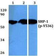 Phospho-SHP-1 (Tyr536) Antibody (PA5-36682)
