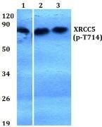 Phospho-Ku80 (Thr714) Antibody (PA5-36720)