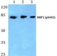 Phospho-HBP1 (Ser402) Antibody (PA5-36809)