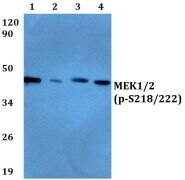 Phospho-MEK1/MEK2 (Ser218, Ser222) Antibody (PA5-36823)