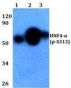 Phospho-HNF4A (Ser313) Antibody (PA5-36857)