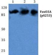 Phospho-FOXO3 (Ser253) Antibody (PA5-36886)