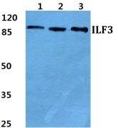 ILF3 Antibody (PA5-36996)