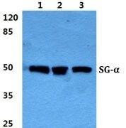 SGCA Antibody (PA5-37050)