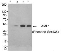Phospho-RUNX1 (Ser435) Antibody (PA5-37508)