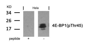 Phospho-4E-BP1 (Thr45) Antibody (PA5-37557)