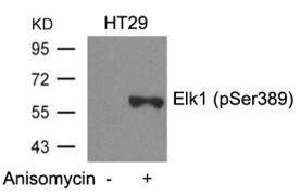 Phospho-ELK1 (Ser389) Antibody (PA5-37559)