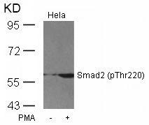 Phospho-SMAD2 (Thr220) Antibody (PA5-37635)