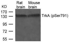 Phospho-TrkA (Ser791) Antibody (PA5-37672)