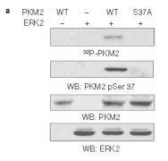 Phospho-PKM2 (Ser37) Antibody (PA5-37684)