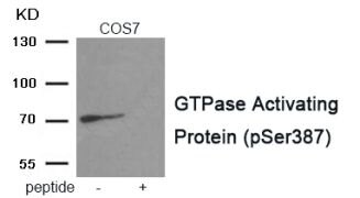 Phospho-RACGAP1 (Ser387) Antibody (PA5-37714)