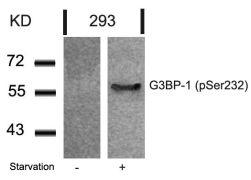 Phospho-G3BP1 (Ser232) Antibody (PA5-37781)