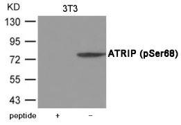 Phospho-ATRIP (Ser68) Antibody (PA5-37801)