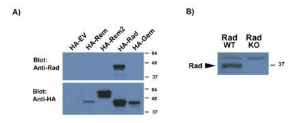 RRAD Antibody (PA5-37885)
