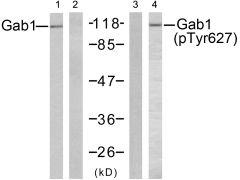 Phospho-GAB1 pTyr627 Antibody (PA5-38133)