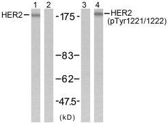 Phospho-ErbB2 (Tyr1221, Tyr1222) Antibody (PA5-38136)