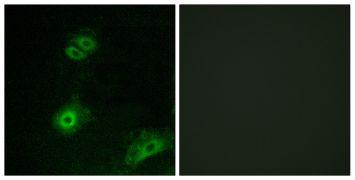 OR4A16 Antibody (PA5-38227)