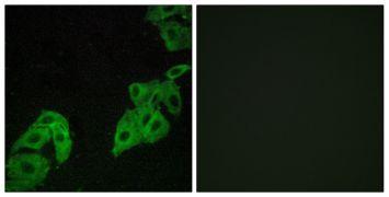 OR4C3 Antibody (PA5-38229)